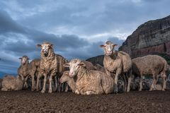 A Herd of sheep resting. With a mountain in the background Royalty Free Stock Image