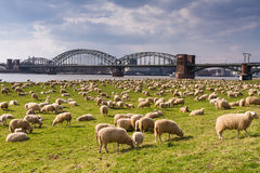 Herd of sheep at the Rhine meadows Stock Images