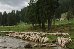 Herd of sheep on the river. Herd of sheep on the watering place royalty free stock images