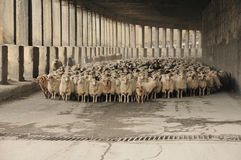 Herd of sheep on the road Royalty Free Stock Photography