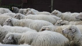 Herd of sheep is on the road stock footage