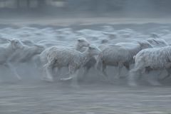 Herd of sheep running in the dust. On a dry farm Royalty Free Stock Photos