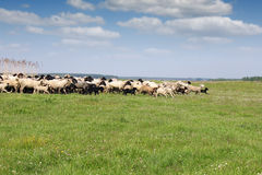 Herd of sheep running Royalty Free Stock Photos