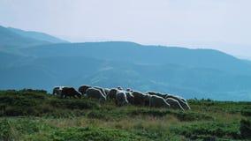 Herd of sheep running trough a green field stock video footage