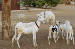 Herd of sheep's. Photographed in west Africa Stock Photos