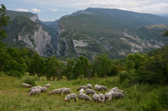 Herd of sheep at the sharp edge of canyon Verdon Royalty Free Stock Photos