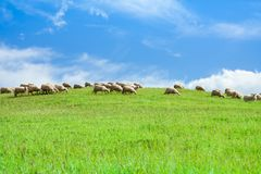 Herd of sheep in sheep over blue sky Royalty Free Stock Photography