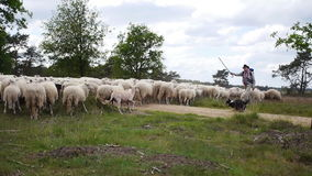 A herd of sheep  and a sheepdog Royalty Free Stock Photo