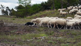 A herd of sheep  and a sheepdog stock footage