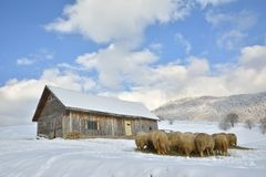 Herd of sheep skudde eating the hay meadow covered with snow Stock Photo