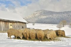 Herd of sheep skudde eating the hay meadow covered with snow Royalty Free Stock Photo