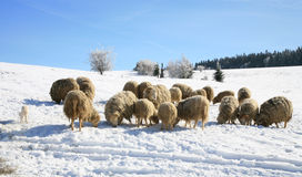 Herd of sheep skudde Stock Images
