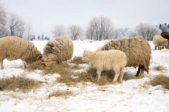 Herd of sheep skudde Stock Photo