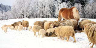Herd of sheep and horse Stock Image