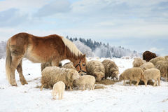 Herd of sheep and horse. Herd of sheep skudde and horse haflinger eat the hay meadow covered with snow. Winter on the farm Royalty Free Stock Photos