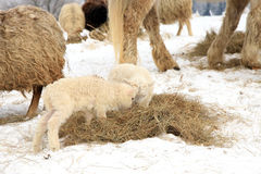 Herd of sheep and horse Stock Photography