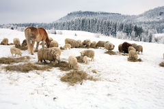 Herd of sheep and horse Royalty Free Stock Image