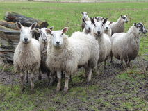 Flock of sheep. A small flock of sheep in a muddy field Royalty Free Stock Photos