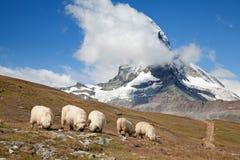 Herd of sheep. Small herd of sheep in swiss alps stock image