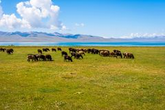 Herd of sheep by Song kul lake. Kyrgyzstan Stock Photography