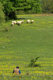 Herd of sheep in the spring Stock Image