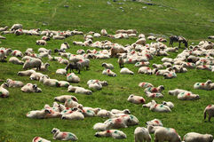 Herd of sheep in the spring Stock Photography