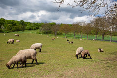 The herd of sheep on spring meadow Stock Images