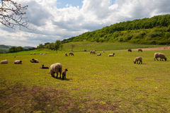 The herd of sheep on spring meadow Stock Image