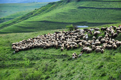 Herd of sheep in the spring Royalty Free Stock Image