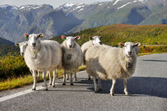 Herd Sheep. Standing on road in mountain countryside Royalty Free Stock Image