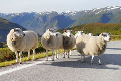 Herd Sheep. Standing on road in mountain countryside Stock Images