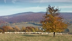 Herd of sheep on sunny mountain meadow Royalty Free Stock Photos
