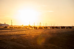 Herd of sheep. At sunset royalty free stock image