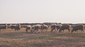 Herd of Sheep Taken Under White Sky Royalty Free Stock Photo