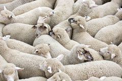 Herd of sheep on a truck. Herd of sheep being transported on a truck Stock Photo