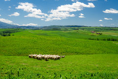 Herd of sheep on tuscany field Stock Image