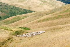 Herd of sheep in Tuscany, Italy Royalty Free Stock Photography