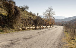 Herd of sheep. A herd of sheep is walking along a mountain road Royalty Free Stock Images