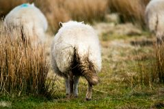 A herd of sheep walking away together stock photo