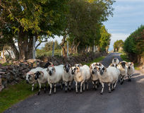 Herd of sheep walking on the rural road Royalty Free Stock Image