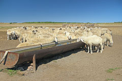 Herd of sheep. On the watering place royalty free stock image