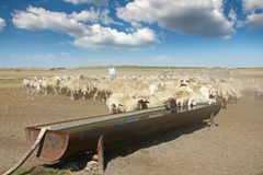 Herd of sheep. On the watering place stock photos