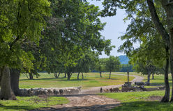 Herd of sheep on the watering place Royalty Free Stock Photos