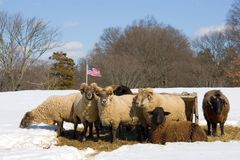 Herd of sheep in winter Stock Photo