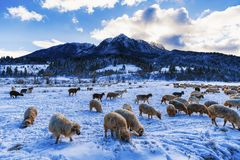 Herd of sheep in the winter mountain. Rural landscape with herd of sheep in the winter mountain stock image