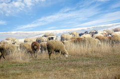 Herd of sheep on a winter pasture Stock Photo