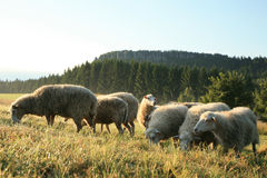 Herd of sheeps � Skudde Royalty Free Stock Photo