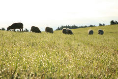 Herd of sheeps – Skudde Stock Images