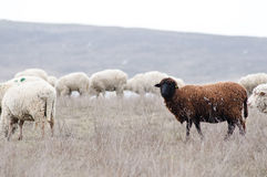 Herd of sheeps Stock Photography