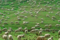 Herd of Sheeps Royalty Free Stock Photography